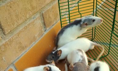 Nuestra ratita tuvo crías. Las tenemos porque no queríamos sacrificarlas.  Las regalamos a quien las vaya a cuidar. Hay 12.
