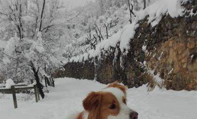 En Sunny, el nostre Border Collie enfonsat a la neu a Fígols d' Alinyà.