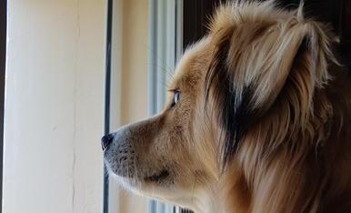 El Bethoven el meu gosset, mentres estudio mira per la finestra .