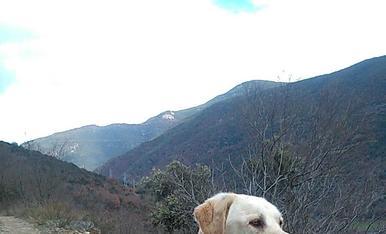Aquí us presento al Ros, el meu llabrador retriever, al que li agrada gaudir de les muntanyes que envolten La Seu d, Urgell,  la nostra ciutat.