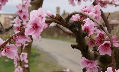 Pobles florits: flor de presseguer i de fons, el poble d'Aitona