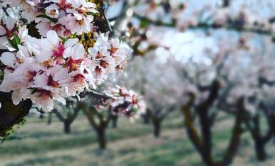 Ametllers florits a Verdú (Urgell)