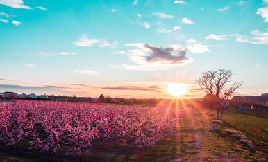 Camps de Lleida vestits de rosa