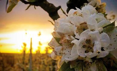 Arbres florits dels camps de Lleida a la llum d'una posta de sol de primavera.