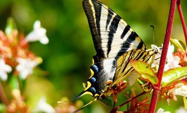 Papallona zebrada (Iphiclides podalirius)