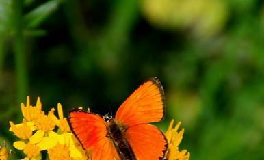 coure roent (Lycaena virgaureae)