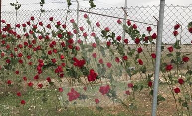 © Roses de Sant Jordi a Alcalá-Meco