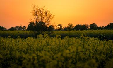 Camps de colza pinten de groc els paissatges