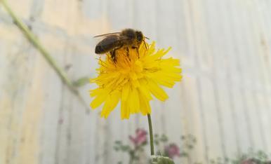 """Una abella tastant una """"dent de lleó"""". Polinitzadora a domicili!"""