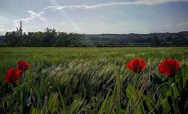 El vent acaricia els camps de blat davant l'atenta mirasa de les roselles