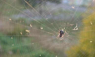 Un petit insecte ha caigut al teler d'una aranya, valentement aixecada, li va plantá cara, encara que tristement, sap que no li sevira de res. L'aranya té totes les de guanyar...Imatge captada amb un lent macro de aproximació.