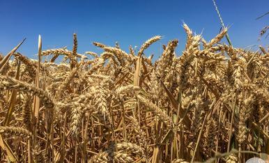 L'estiu es temps de blat.... així ho demostren aquests camps de blat de La Fuliola, on cada any es representen les tradicionals festes del Segar i el Batre