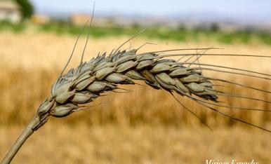 L'estiu es temps de blat....