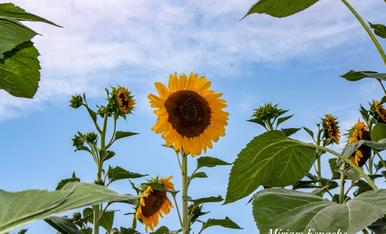 L'estiu es temps d'alegria, el que transmeten aquests gira-sols
