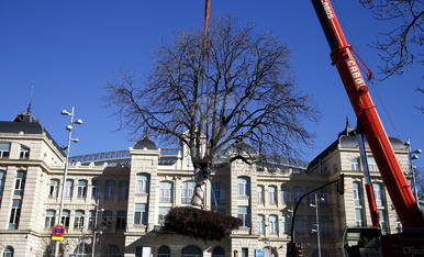 Imatges del trasplantament dels dos grans arbres de l'estació de Lleida