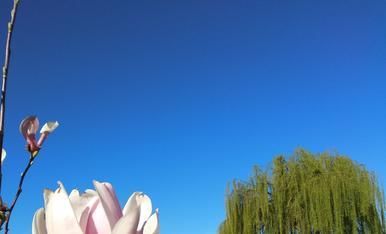 Espectaculars magnòlies d'Almacelles