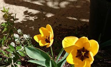 Tulipes d'un groc preciós.