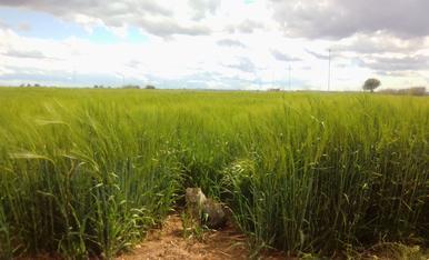 Una foto de un campo de cebada es muy bonito, pero todo mejora con un gato....o una gata en este caso.