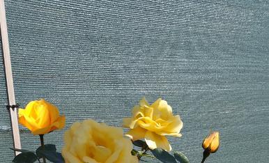 Roses groges del meu jardi