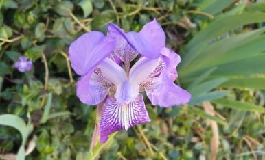 La primera floreta del nostre jardi a la montanya