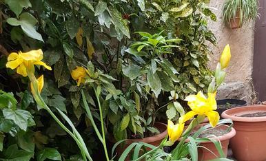 Els lliris i els pensamens del meu jardi!!! Magda Bach.
