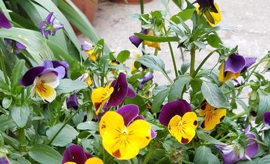 Els pensamens del meu jardi!!! Magda Bach.