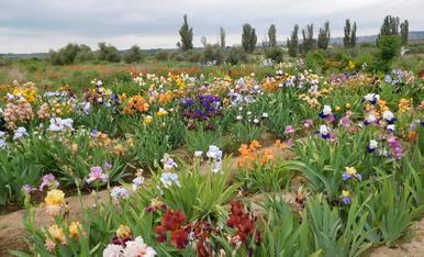 iris de mas de ochenta colores