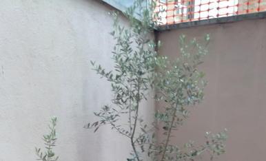 Els meus olivers