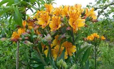Una de las muchas  flores de mi jardín