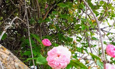 Roses silvestres