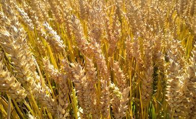 El trigo ya está dorado