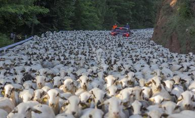 © Tres mil ovejas, de ruta por el Sobirà