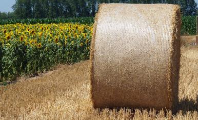 L'onada de calor no atura la feina del camp, el cereal segat i els gira-sols ben florits...