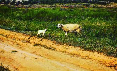 Visita Más Melons neixement  del corderet en aquell moment, el ramat fa de netejador del terreny.