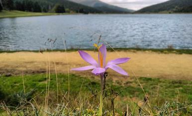 Flor de safra silvetre, al Lac de payolle sud de França.