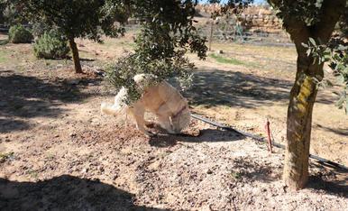Creix el cultiu de trufes i es converteix en un nou atractiu turístic per a les Garrigues