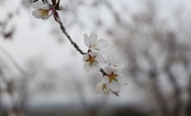 Ametllers florits a Arbeca