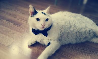 Kaos, el gat elegant!