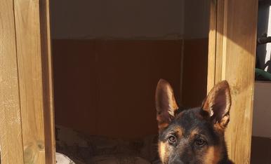 Aquest gos es diu Toby, té tres mesos, és un Pastor Alemà, li agrada molt jugar i que li facin caricies a la panxa