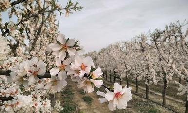 Camps d'arbres fruiters a Juneda