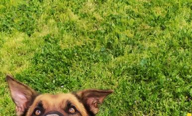 Taró, es un gos molt especial i carinyòs a part de bonic, li encanta fer forats a terra i enterra tot el que trobar, tal com podeu veure a la foto, té el nas ple de terra :-)