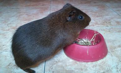 El nostre conillet d'Índies, Lolo, es passa el dia menjant