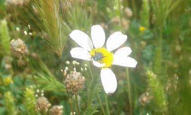 Ara que estem tots a casa els petits insectes gaudeixen lliurement del nèctar de les flors. No només els hi agrada a les abelles.