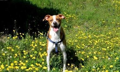 Hola a tots, em dic Xic i sóc un gos de barreja entre llabrador i bretó. Sóc un saltimbanqui, m'encanta fer veure que sóc un conill entre les herbes altes del camp.