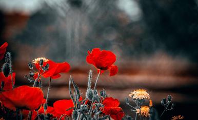 La rosella vermella, antídot contra la pena.
