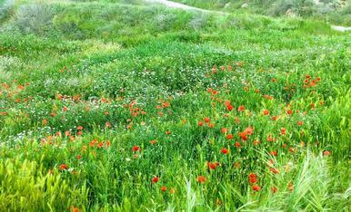 Les roselles envaeixen el paisatge del Cogul