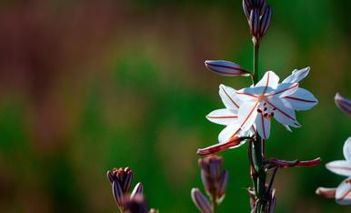 Asphodel Comú. Flors del camp