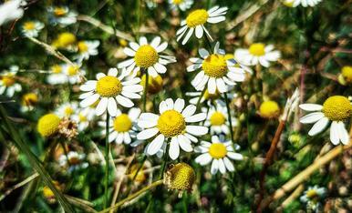 L'olor de la camamilla silvestre em transporta a la infantesa amb els xamos plens d'aquestes floretes