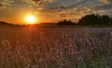 Els colors càlids de la posta de sol després d'un calorós dia d'estiu captada des dels acolorits camps d'espígol de l'Horta de Lleida.