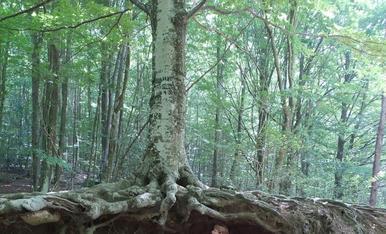 Bosc de santa pau, la garrotxa